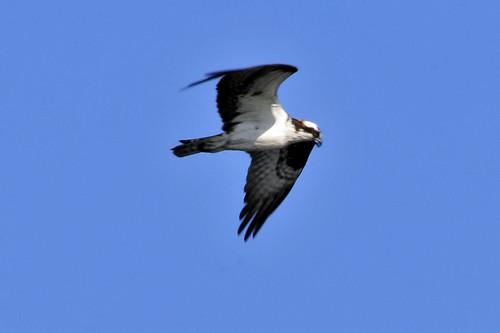 Trustom Pond NWR osprey