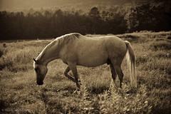 Horses_206_20100907.jpg (T. Scott Carlisle) Tags: horses horse white farm tsc 85mmf14d 50mmf12 lightroom3 tphotographiccom tscottcarlisle ellecummans heahtercummans tscottcarlislecom