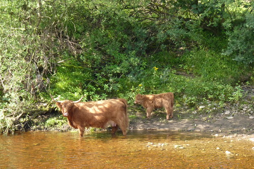 Highland Cow standing in the River Swale