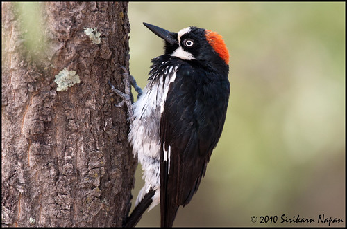 Acorn Woodpecker @ Ash Canyon, AZ
