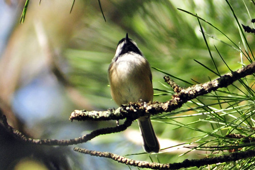 chickadee four ponds