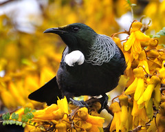 Tui in a Kowhai Tree (Mike Brebner) Tags: new flowers trees newzealand bird nature birds digital photography photo nikon image photos wildlife images zealand nz wellington eastbourne birdwatching tui kowhai d90 nzbirds nikond90 nikkor70300vr c2011mikebrebner