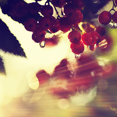 Rain + Sun + Rowanberries = Autumn (~ Maria ~) Tags: autumn light sun fall rain weather drops colorful dof shine bokeh rays hst rowanberries rnnbr solsken mariakallin nikon90d