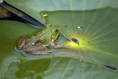 Frog Lilly pad (Crystal Images1) Tags: frog frogs amphibian amphibians eye eyes green toad toads nature cute lilly pad lillypad pads algea moss animal animals