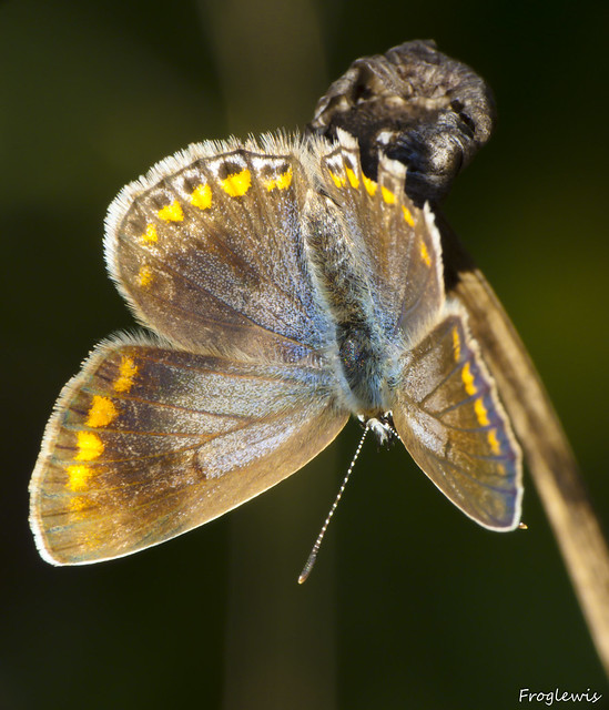 Le Bel-Argus ( Lysandra bellargus ) 4993197131_5a59cf7cde_z