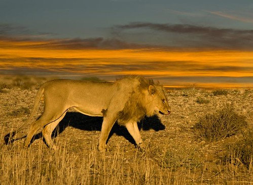 Kgalagadi King on the dunes