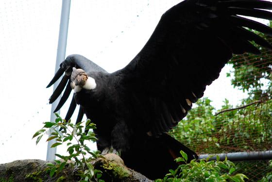 vultur_gryphus_01