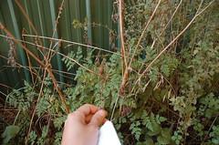 "Sweet Cicely - A Wonderful Plant <a style=""margin-left:10px; font-size:0.8em;"" href=""http://www.flickr.com/photos/91915217@N00/4997795798/"" target=""_blank"">@flickr</a>"