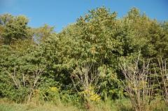 "Chestnut Trees <a style=""margin-left:10px; font-size:0.8em;"" href=""http://www.flickr.com/photos/91915217@N00/4997801838/"" target=""_blank"">@flickr</a>"