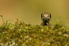 Cobra rateira juvenil (GRLima) Tags: mywinners platinumphoto bfgreatesthits malpolonmonspessulanus
