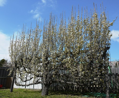 Pear in Early Spring