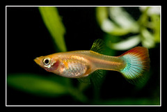 guppy(female) (cschoy) Tags: pets fish macro animal aquarium nikon singapore aquatic guppy tropicalfish freshwater poecilia reticulata livebearer d300s nikkorafs105mm