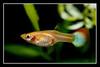 guppy(female) (cschoy) Tags: pets fish macro animal aquarium nikon singapore aquatic guppy tropicalfish freshwater poecilia reticulata livebearer d300s nikkorafs105mm