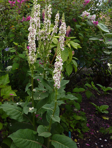 Verbascum chiaxii 'Album' in the garden