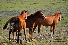 Cavalos Marismenhos (JMAlmeida2009) Tags: horses caballos cavalos