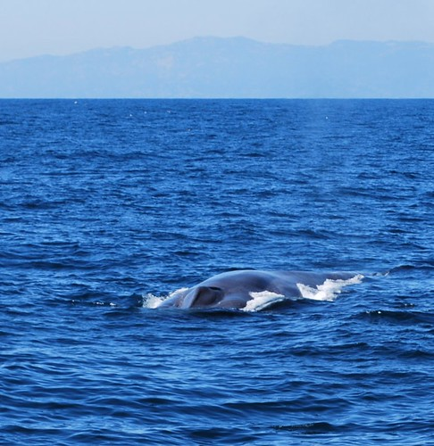 Blue Whale off of Pt. Vicente