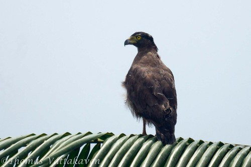 Crested Serpent Eagle (Spilornis cheela