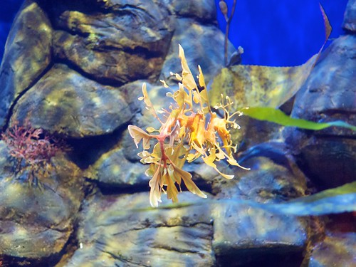 Leafy Seadragon in the Perth aquarium