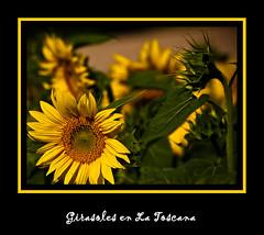 Girasoles en la Toscana (Kepa_photo) Tags: art italia raw olympus amarillo toscana zuiko euskalherria euskadi paisvasco 43 girasoles fourthirds olympuse1 digital43 livemos kepaphoto kepaargazkiak