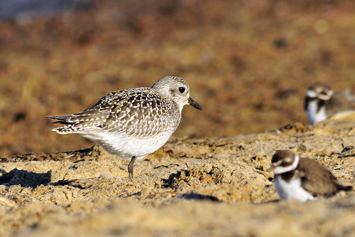 plovers big and small
