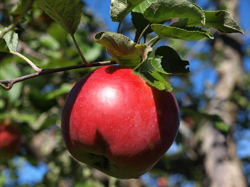Apples10 021
