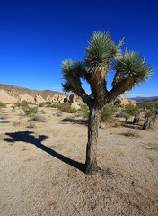 The Lone Joshua Tree (Dave Toussaint (www.photographersnature.com)) Tags: california travel shadow vacation sky usa nature canon landscape photo nationalpark rocks desert picture joshuatree photographers socal geology southerncalifornia 2009 mojavedesert 40d topazlabs gtrees topazadjust topazdenoise photographersnaturecom davetoussaint davetoussaintcom