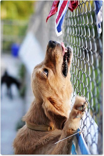 「中途助認養」北縣汐止林口中途中的黃金獵犬、拉布拉多、比特、米克斯、等等,需要您的支援助認養,懇請隨手幫忙轉PO~謝謝您!20100928