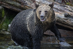 Where are the Salmon? (Jeff Robinson - TX) Tags: bear canada nature canon britishcolumbia wildlife 5d grizzly predator grizzlybear bearcountry knightinlet glendalecove ef500mmf4isusm
