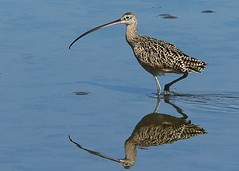 Long-billed Curlew (Krisphotographer) Tags: long extender curlew billed canonextenderef14xii canonef300mmf4lisusm canonef14xiiteleconverter