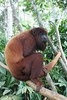 One of the Howler monkeys, this gu…