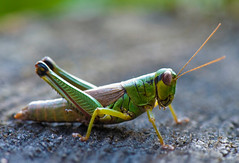 Short-horned Grasshopper, Parapodisma mikado, ミカドフキバッタ (aeschylus18917) Tags: danielruyle aeschylus18917 danruyle druyle ダニエルルール ダニエル ルール japan 日本 nikon d700 105mmf28gvrmicro 105mmf28 nikkor 105mm micro macro nature insect grasshopper saitama saitamaprefecture 埼玉県 saitamaken chichibu 秩父市 chichibushi locust nikkor105mmf28gvrmicro フキバッタ shorthornedgrasshopper brachypterousgrasshopper insecta バッタ orthoptera caelifera acrididae melanoplinae parapodisma ミカドフキバッタ ミヤマフキバッタ parapodismamikado f28 g vr pxt edit