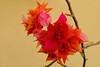 Bougainville - Quinta Flower