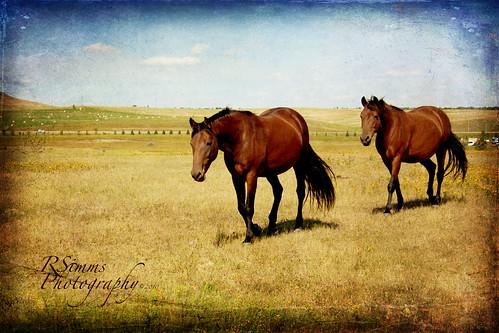 Texture horses