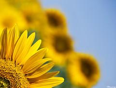 Happy Molana day! (M@@nʎ) Tags: birthday flower colors smile dedication yellow happy iran bright pentax bokeh happiness smiley sunflowers sunflower poet asymmetry ایران 803 rumi mevlevi lensblur molana molavi brigh k100d مولانا moulavi مولوی 803rd