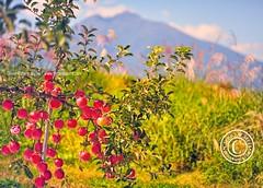 Hirosaki Apples. Northern Japan (Glenn Waters in Japan.) Tags: autumn trees sky japan nikon fuji bokeh aomori  hirosaki   japon        bej aomoriapples d700 nikond700  glennwaters iwakimountain photosjapan nikkor85mm14g nikkor85mmf14g hirosakiapples