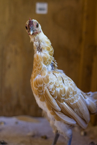 buff sebright banty hen molting