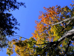 falling up (dmixo6) Tags: autumn trees sky canada colour beauty leaves maple change muskoka 2010 dugg dmixo6