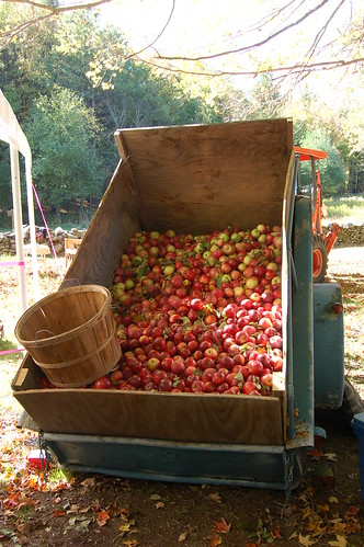 A wagonload of apples from a neighbor by Eve Fox, Garden of Eating blog, copyright 2010