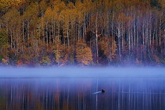 Duck In The Fog (Rambler Photography) Tags: lake forest duck bc britishcolumbia rosslakeprovincialpark duckinthefog
