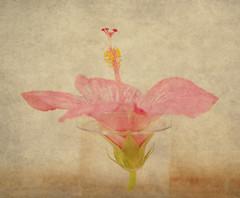 Hibiscus (Ana Lusa Pinto [Luminous Photography]) Tags: pink stilllife flower art texture nature water glass photography stock hibiscus