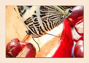ZebraButterfly