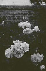 (z o z α ♥) Tags: flowers bw black flower blackwhite nikon 1855mm وردة ورود wite عندي أتمنى moudi لا اسود نيكون ابيض التميمي zoza altamimi اختصار لغيرك وردات احادي موضي انتماء وإنك التمني
