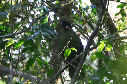 Day7 - Hartlaubs Turaco