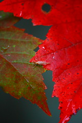 A Seasonal Crossing! (p.csizmadia) Tags: autumn ohio red color fall nature wet beauty leaves insect maple october bokeh vibrant seasonal rainy transition brilliant 2010 loraincounty csizmadia pcsizmadia afhht