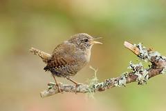 鷦鷯  【ミソサザイ】 (Fu-yi) Tags: bird birds animal sony taiwan wren alpha dslr ramo 鳥類 formosan uccellino 畫眉亞科 ミソサザイ 鷦鷯 theinspirationgroup 鷦鷯一枝