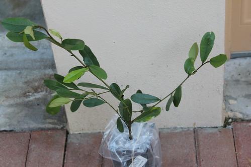 M. Laevifolia