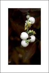 Bon week-end.... (kate053) Tags: nature fleurs blanc boules arbuste kate053 boulesblanches
