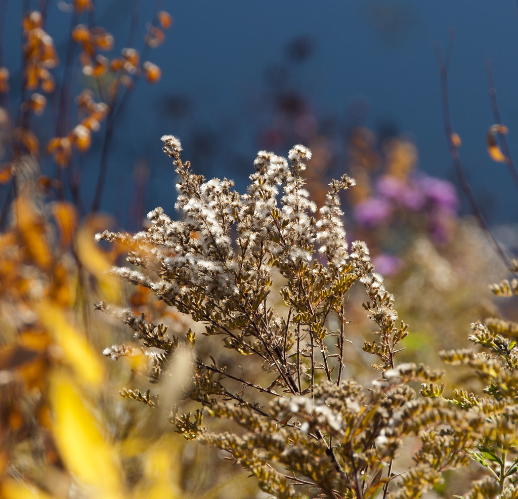 Cotton Top Golden Rod and Other Fall Colors