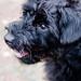 Taffy Pup