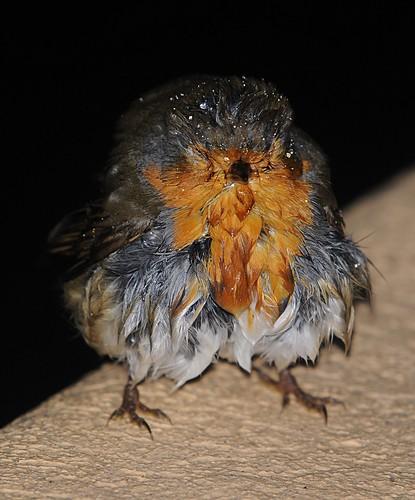 wet robin2